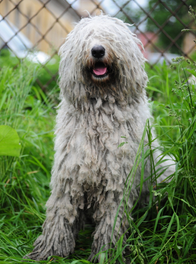 Photo : chien de race Komondor sur Woopets