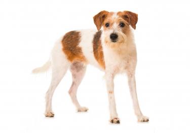 Photo : chien de race Kromfohrländer sur Woopets