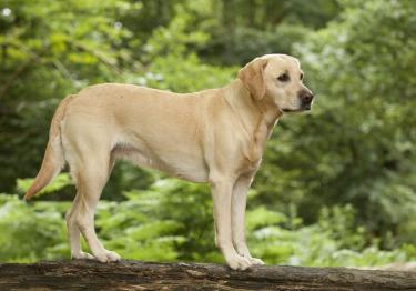 Photo : chien de race Labrador Retriever sur Woopets