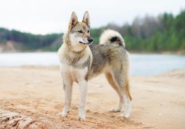 Photo : chien de race Laïka de Sibérie occidentale sur Woopets