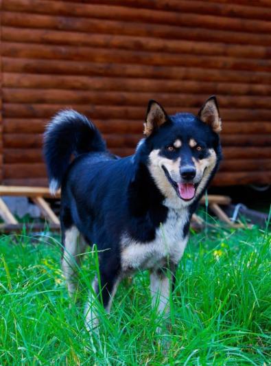 Photo : chien de race Laïka de Sibérie orientale sur Woopets