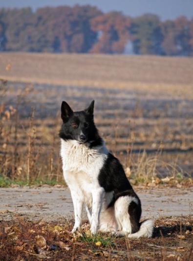 Photo : chien de race Laïka Russo-Européen sur Woopets
