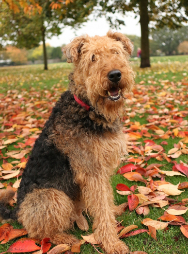 Photo : chien de race Lakeland Terrier sur Woopets