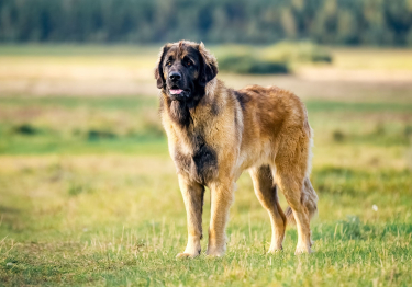 Photo : chien de race Leonberger sur Woopets