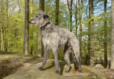 Photo : chien de race Lévrier Écossais sur Woopets