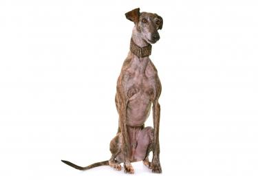 Photo : chien de race Lévrier Espagnol sur Woopets