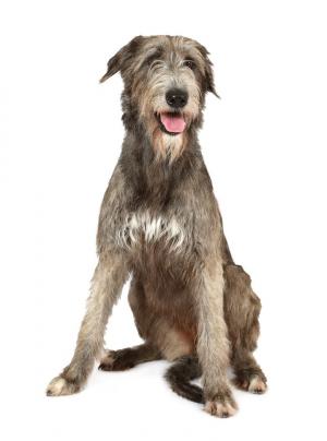 Photo : chien de race Lévrier Irlandais sur Woopets