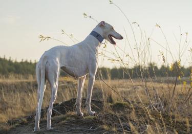 Photo : chien de race Lévrier Polonais sur Woopets