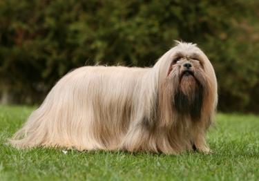 Photo : chien de race Lhassa Apso sur Woopets