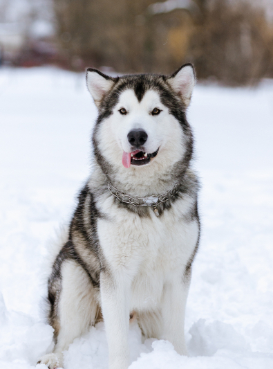 Photo : chien de race Malamute de l'Alaska sur Woopets
