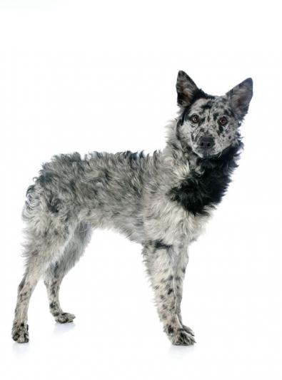 Photo : chien de race Mudi sur Woopets