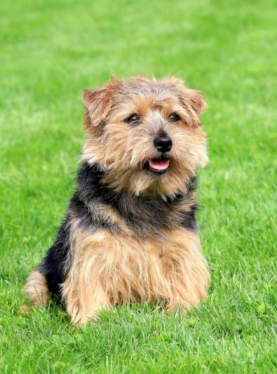 Photo : chien de race Norfolk Terrier sur Woopets