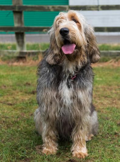 Photo : chien de race Otterhound sur Woopets