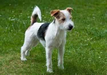 Photo : chien de race Parson Russell Terrier sur Woopets