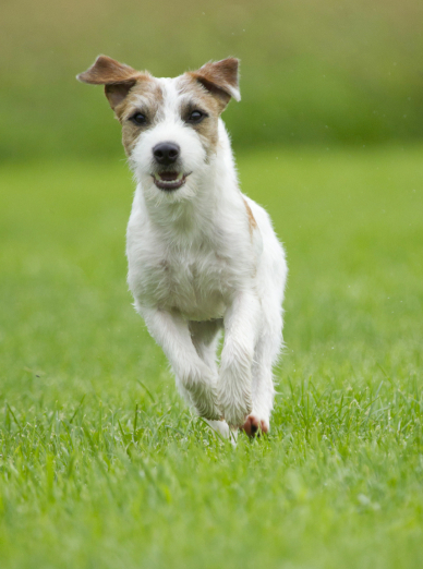 "Illustration de la race ""Parson Russell Terrier"""