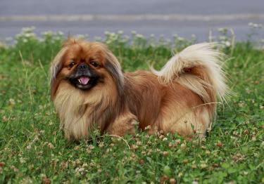 Photo : chien de race Pékinois sur Woopets