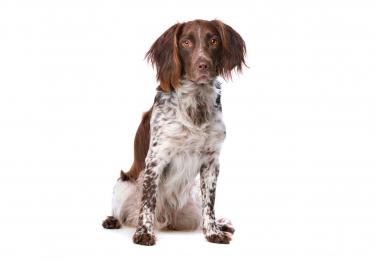 Photo : chien de race Petit Epagneul de Münster sur Woopets