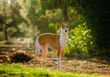 Photo : chien de race Petit Lévrier Italien sur Woopets