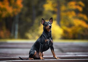 Photo : chien de race Pinscher sur Woopets