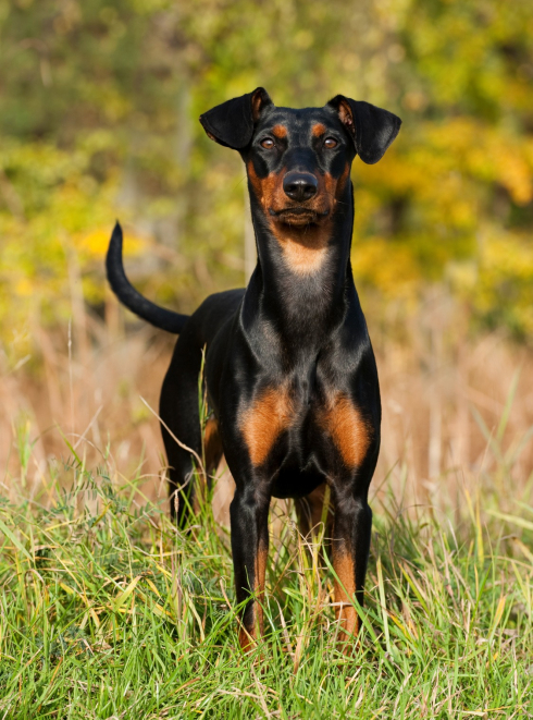 "Illustration de la race ""Pinscher"""