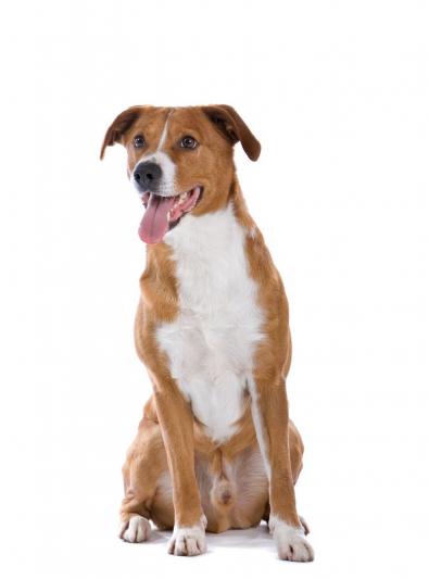 Photo : chien de race Pinscher autrichien à poil court sur Woopets