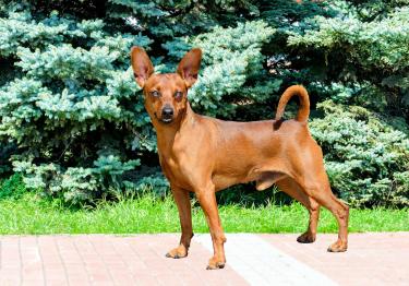 Photo : chien de race Pinscher Nain sur Woopets