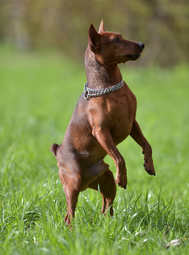 Photo : chien de race Pinscher Nain sur Woopets