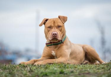 Photo : chien de race Pitbull sur Woopets