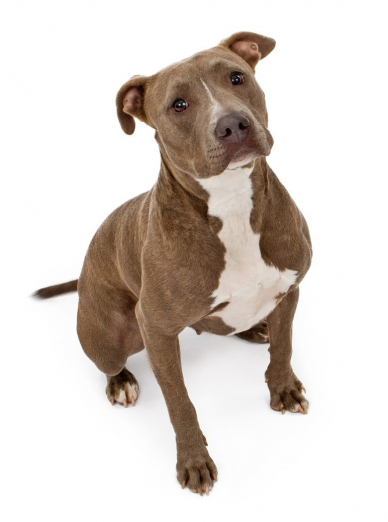Photo : chien de race Pitbull sur Woopets