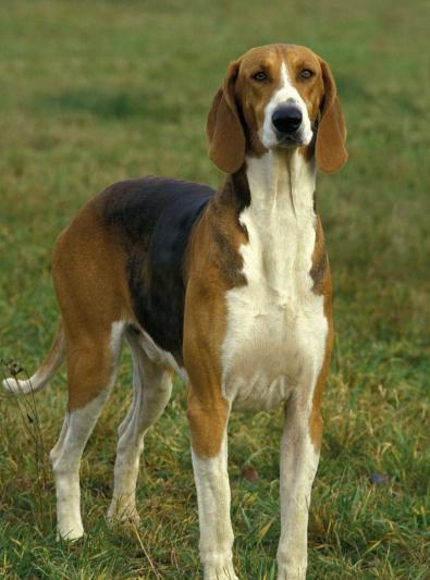 Photo : chien de race Poitevin sur Woopets