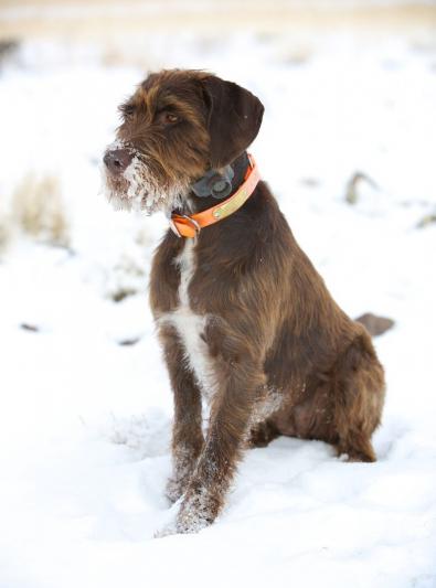 Photo : chien de race Pudelpointer sur Woopets