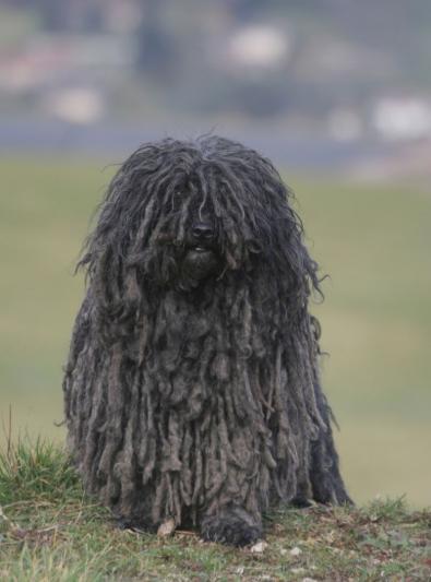Photo : chien de race Puli sur Woopets