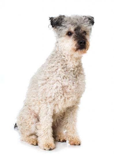 Photo : chien de race Pumi sur Woopets
