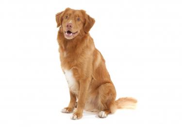 Photo : chien de race Retriever de la Nouvelle-Écosse sur Woopets
