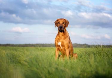 Photo : chien de race Rhodesian-Ridgeback sur Woopets
