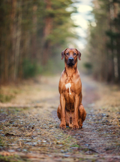 Photo : chien de race Rhodesian-Ridgeback sur Woopets