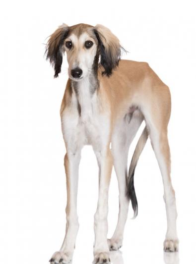 Photo : chien de race Saluki sur Woopets