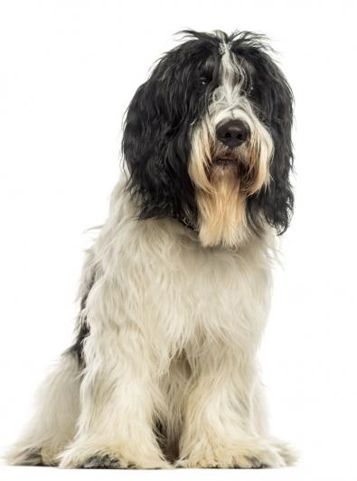 Photo : chien de race Schapendoes sur Woopets