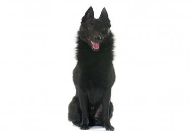 Photo : chien de race Schipperke sur Woopets