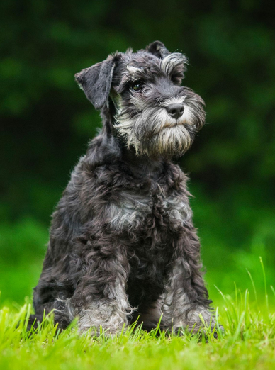 Photo : chien de race Schnauzer sur Woopets