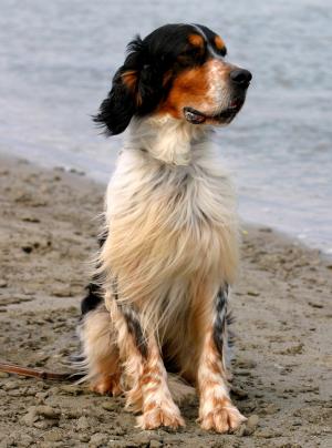 Photo : chien de race Setter Anglais sur Woopets
