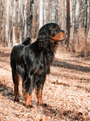 Photo : chien de race Setter Gordon sur Woopets