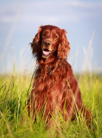 Photo : chien de race Setter Irlandais Rouge sur Woopets