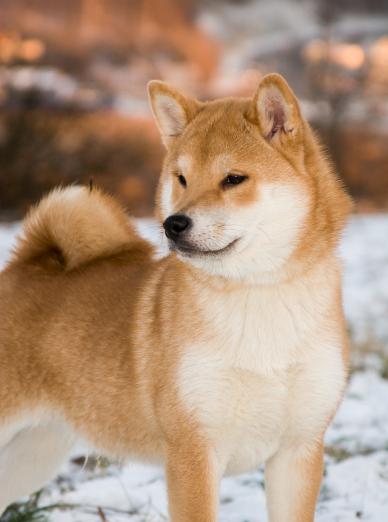 Photo : chien de race Shiba-Inu sur Woopets