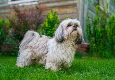 Photo : chien de race Shih Tzu sur Woopets