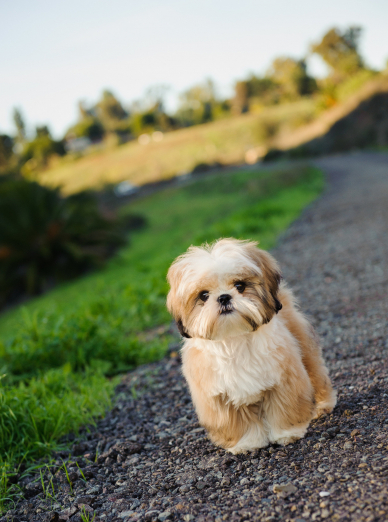 Photo : chien de race Shih Tzu sur Woopets