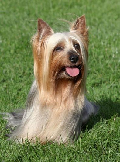 Photo : chien de race Silky Terrier sur Woopets