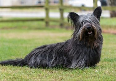 Photo : chien de race Skye Terrier sur Woopets