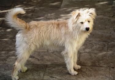 Photo : chien de race Smous des Pays-Bas sur Woopets