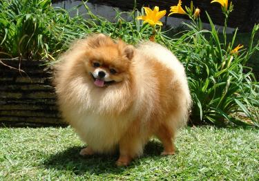Photo : chien de race Spitz Allemand sur Woopets